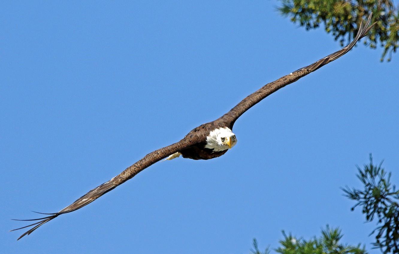Фото обои птица, полёт, белоголовый орлан