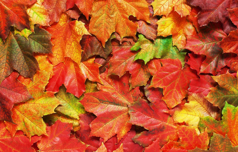 Фото обои осень, листья, фон, colorful, rainbow, клен, autumn, leaves, maple