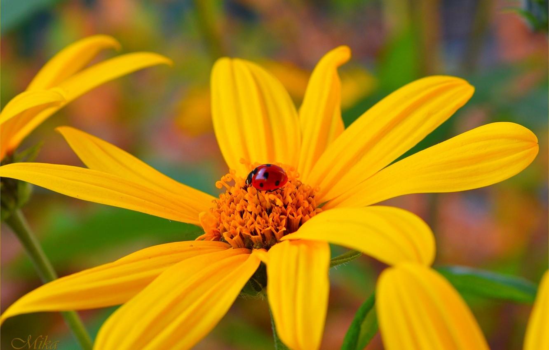 Фото обои божья коровка, Макро, Macro, Yellow flower, Жёлтый цветок