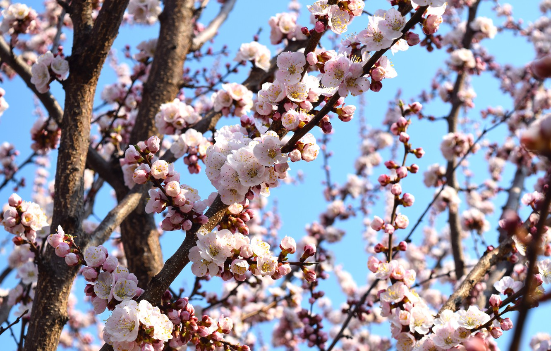 Фото обои небо, цветы, абрикос, цветение дерева