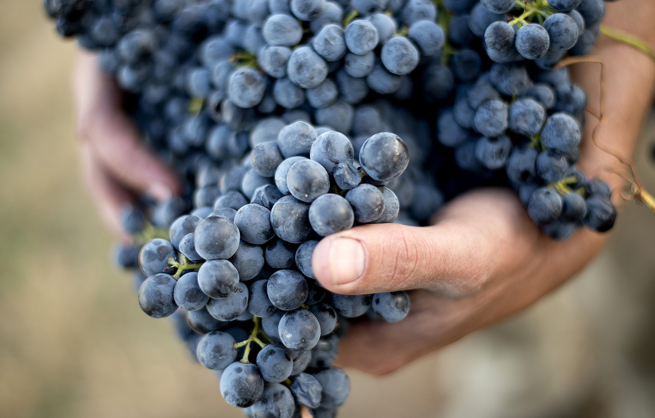 Фото обои grapes, hands, out of focus