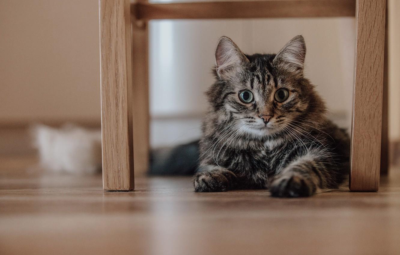 Фото обои кот, животное, котик, коричневый, смотрит
