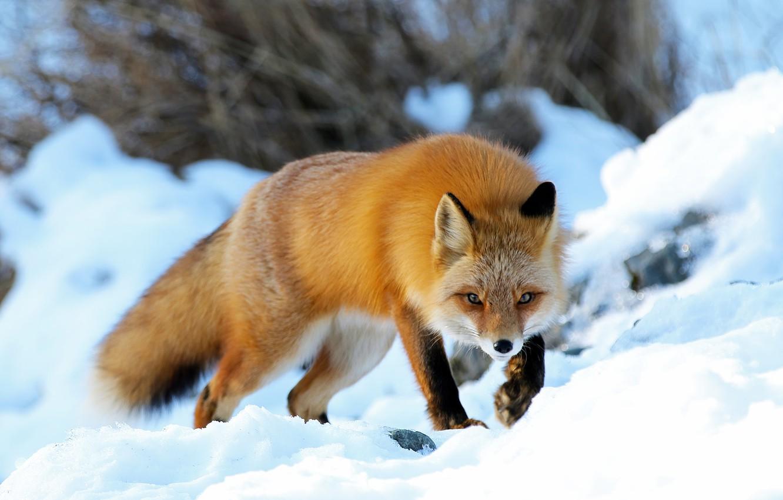 Фото обои зима, снег, природа, животное, Аляска, лиса, лисица