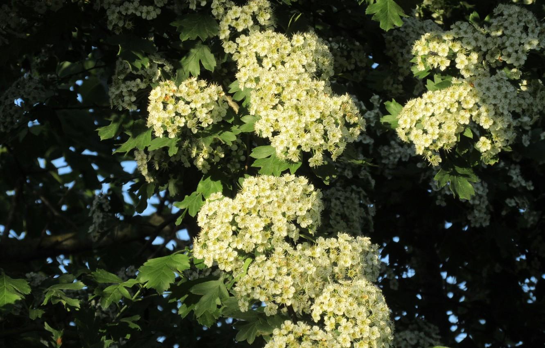 Фото обои цветы, дерево, цветение, весна 2018, Mamala ©