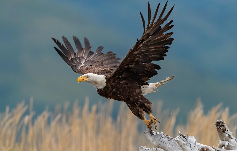 Фото обои птица, крылья, коряга, взмах, взлёт, боке, Белоголовый орлан