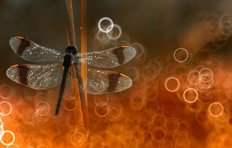 Фото обои focus, dragonfly, put on reeds