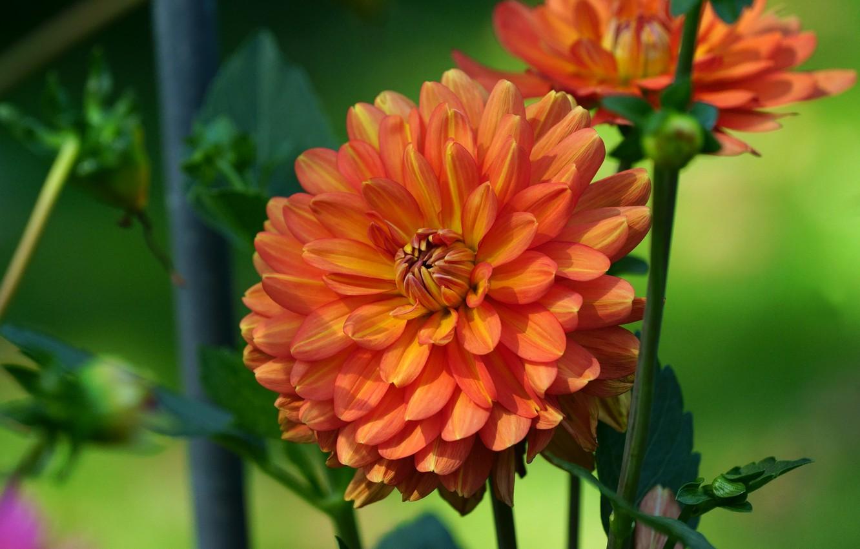 Обои стебель, цветок, оранжевая, Георгина, цветы. Цветы foto 7