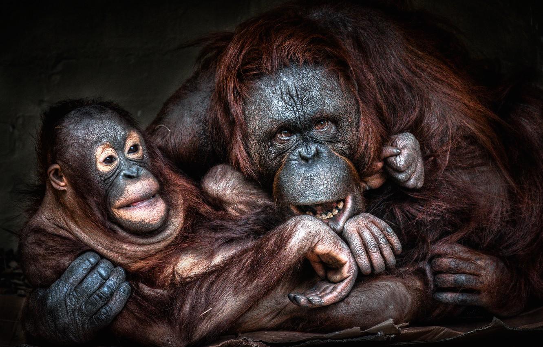 Фото обои взгляд, морда, поза, обезьяна, обезьяны, детеныш, мама, орангутанг