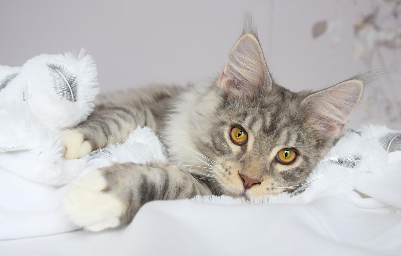 Фото обои зима, кошка, белый, кот, взгляд, морда, поза, серый, фон, портрет, светлый, лапы, пушистый, покрывало, ткань, …