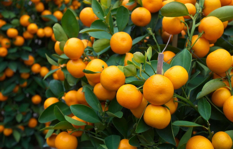 Фото обои апельсины, фрукты, fresh, листики, leaves, orange, fruits