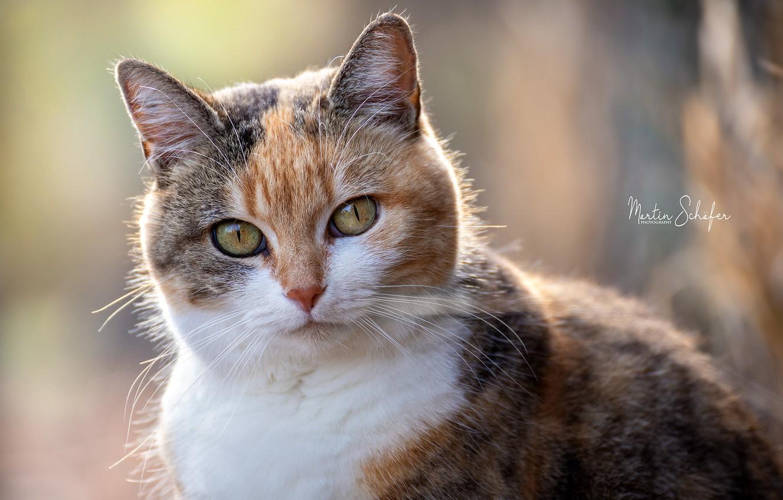 Фото обои кошка, глаза, фото, Martin Schаfer