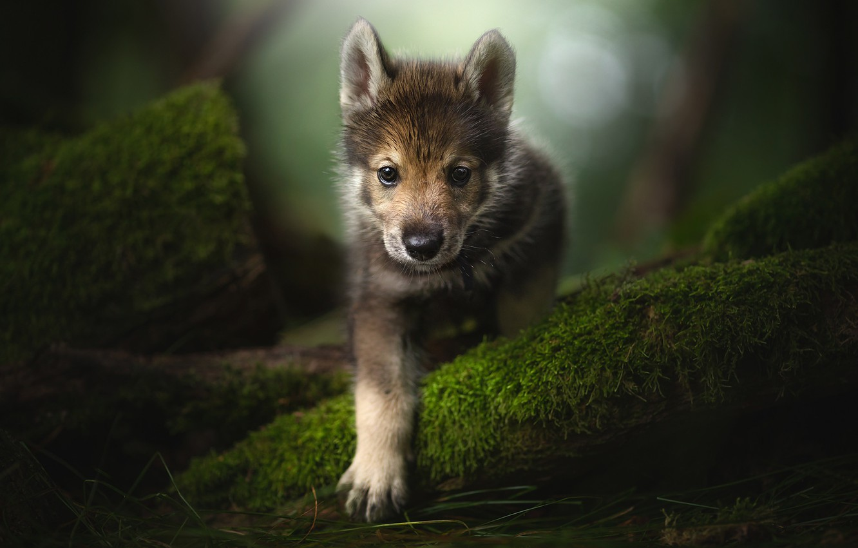 Фото обои взгляд, лапа, мох, щенок, мордашка, Тамасканская собака