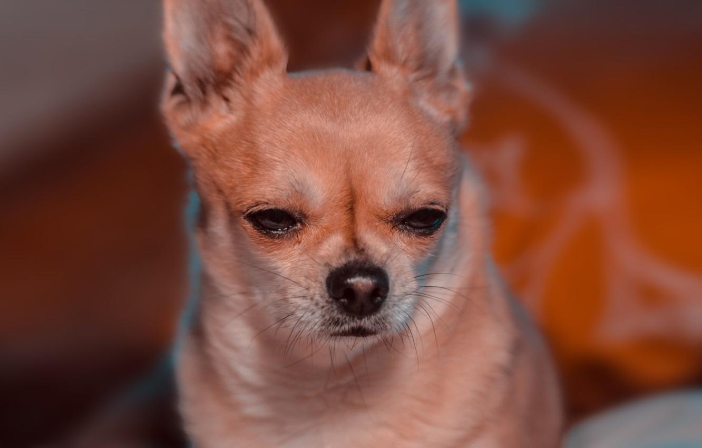 Фото обои взгляд, собака, боке