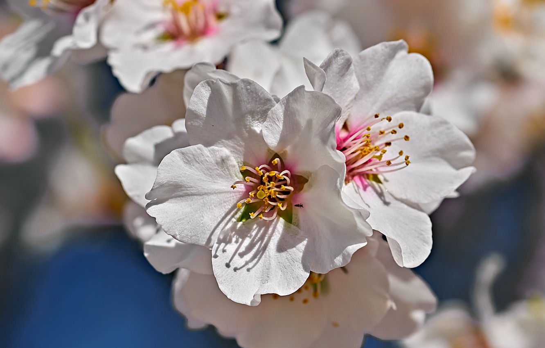 Фото обои макро, цветение, цветки, Миндаль