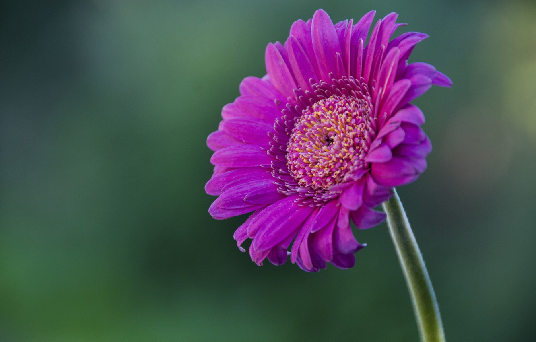 Фото обои цветок, flower, pink, гербера, gerbera