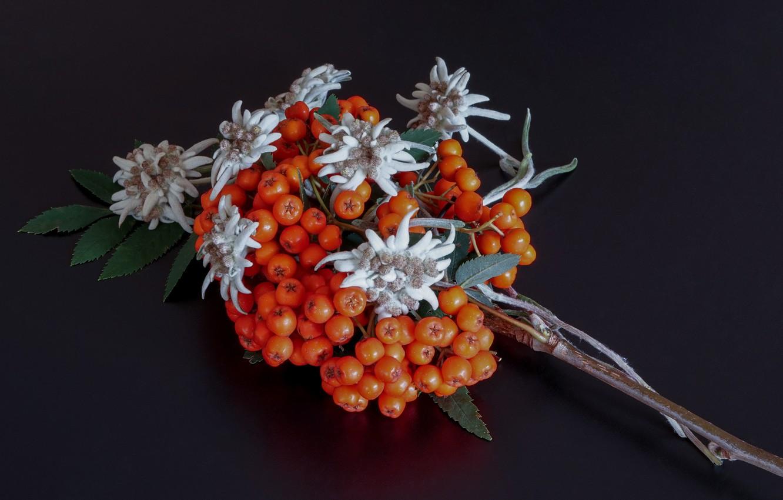 Фото обои макро, ягоды, фон, ветка, рябина