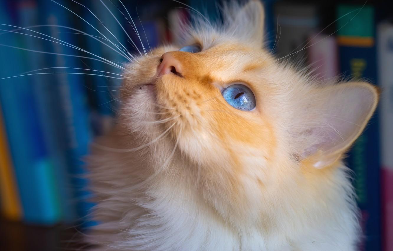Фото обои кошка, мордочка, голубые глаза