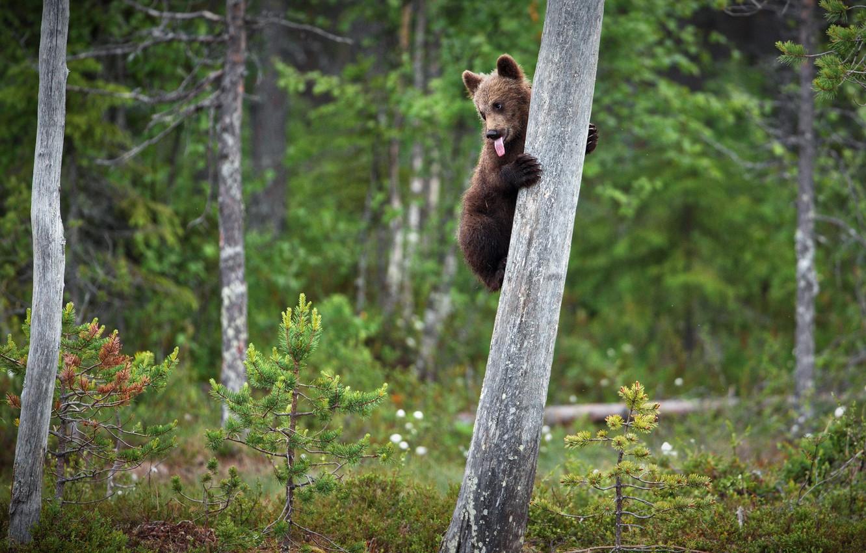 Фото обои лес, язык, поза, дерево, малыш, медведь, медвежонок, на дереве, бурый