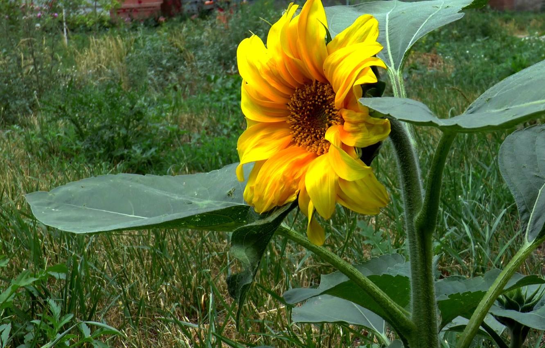 Фото обои лето, жёлтый, подсолнух
