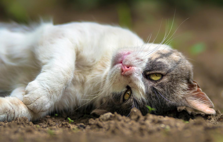 Фото обои кошка, кот, отдых, лапки, мордочка, котейка