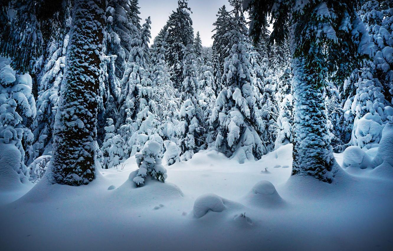 Фото обои зима, снег, деревья, пейзаж, природа, стволы, ели, Robert Didierjean