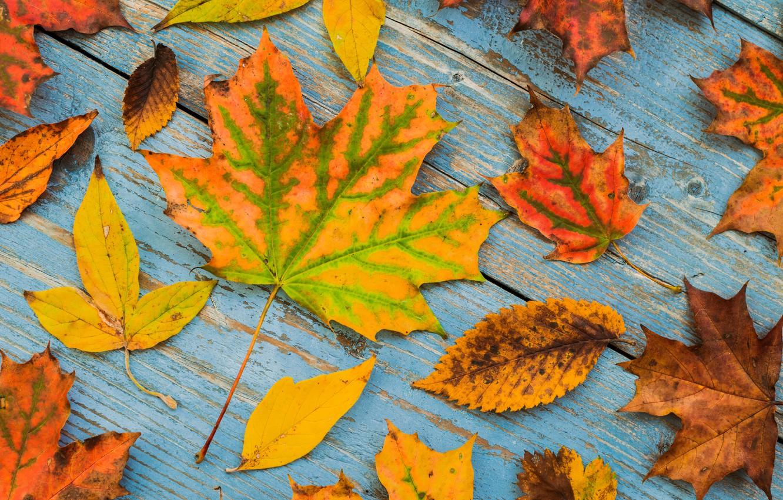 Фото обои осень, листья, фон, доски, colorful, клен, wood, autumn, leaves, maple