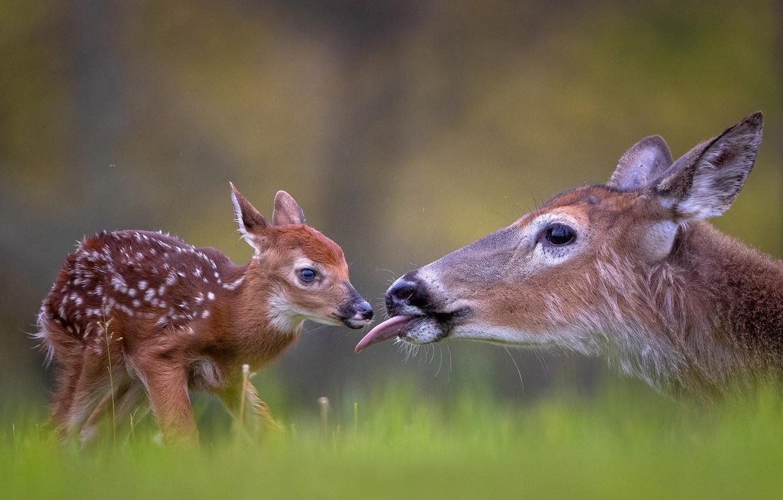 Фото обои малыш, детёныш, олени, боке, оленёнок