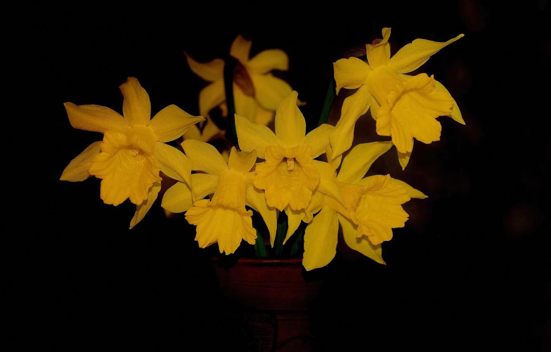 Фото обои макро, фон, лепестки, жёлтый нарцисс