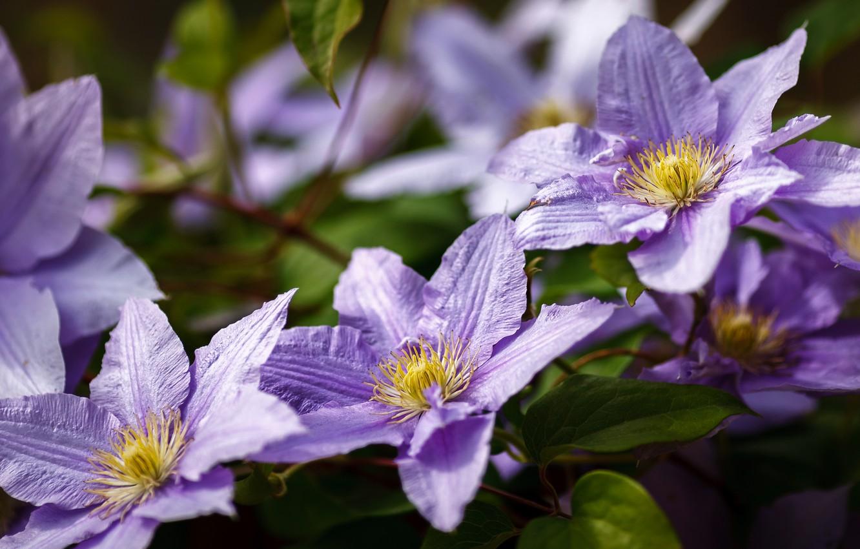 Обои Клематис, цветок. Разное foto 10