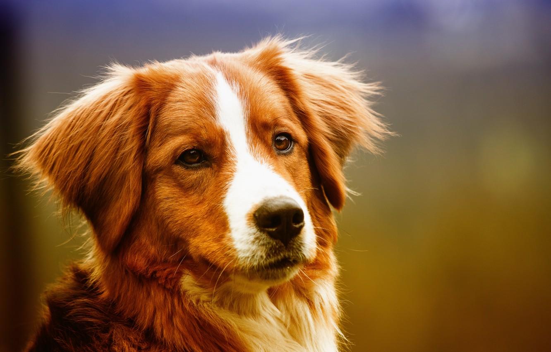 Обои мордочка, пёс. Собаки foto 9