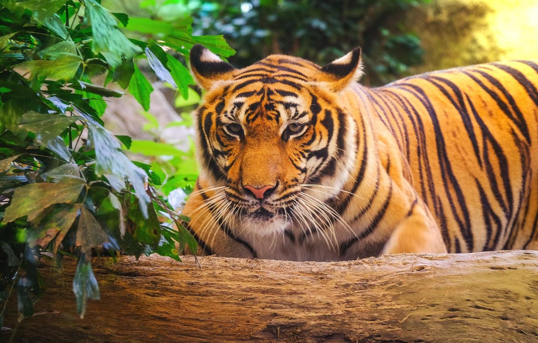 Фото обои тигр, tiger, амурский тигр, animal, Amur tiger