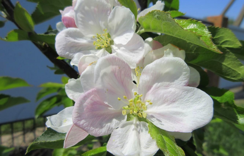 Фото обои цветы, цветущая яблоня, весна 2018, Mamala ©