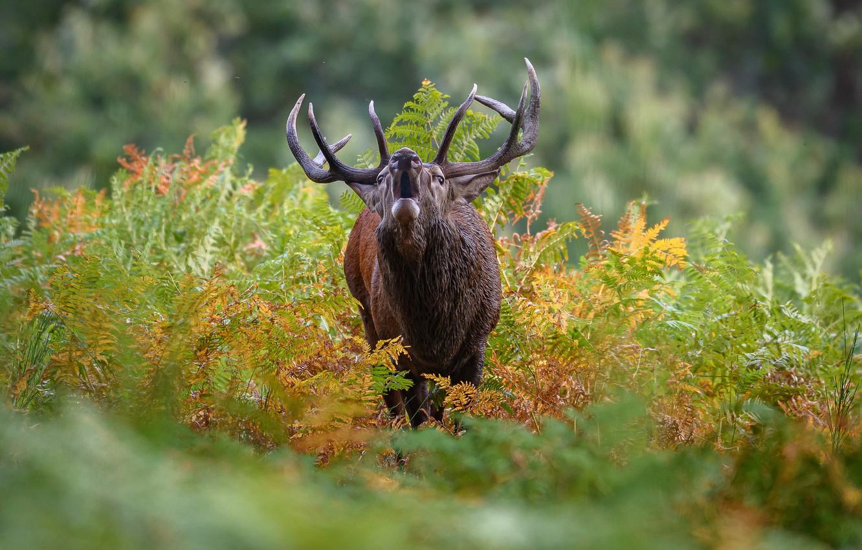 Фото обои олень, рога, боке, рёв