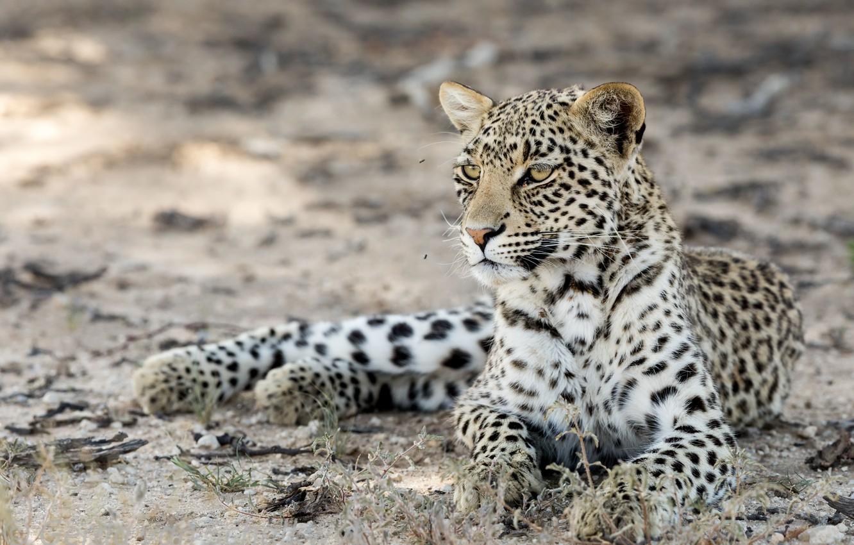 Фото обои природа, зверь, Kgalagadi leopard
