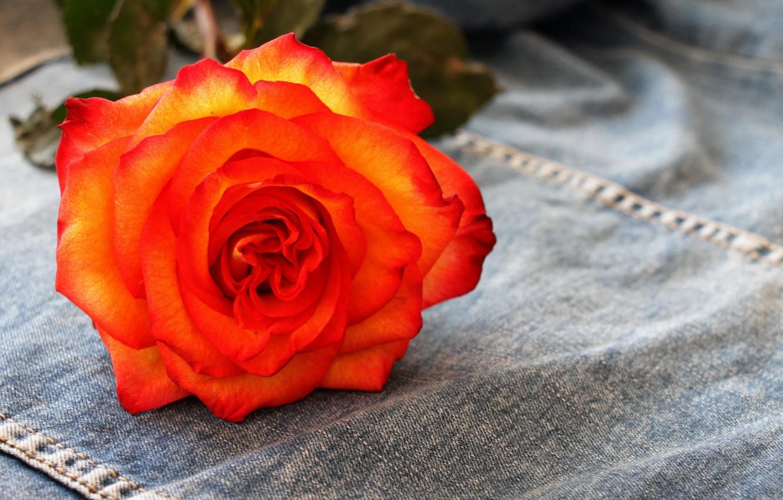 Фото обои цветы, роза, чайная роза