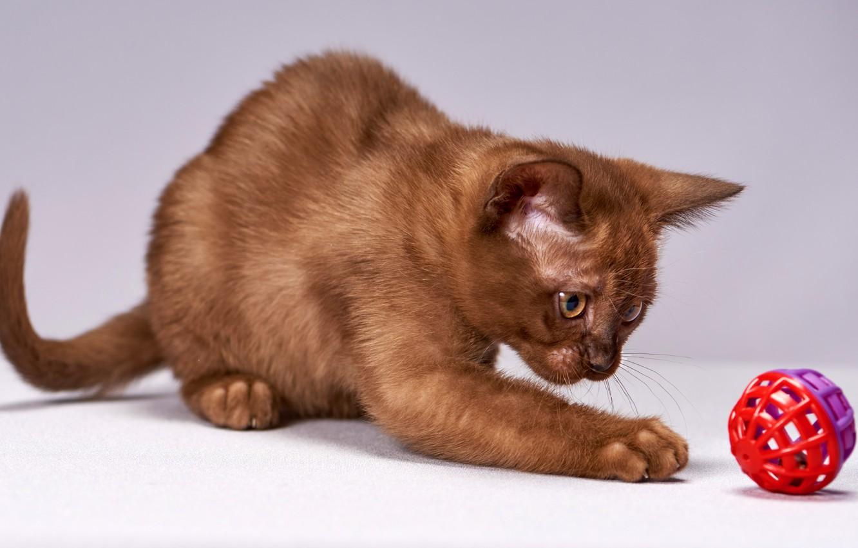 Коричневый котенок картинки