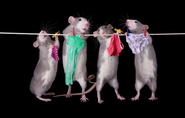 Фото обои поза, белье, веревка, труселя, крысы, носки, колготки, трусы, черный фон, мыши, нижнее, прищепки, квартет, стирка, …