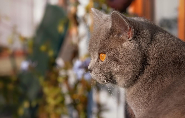 Фото обои кот, взгляд, портрет, мордочка, профиль, боке, котейка, Британская короткошёрстная кошка