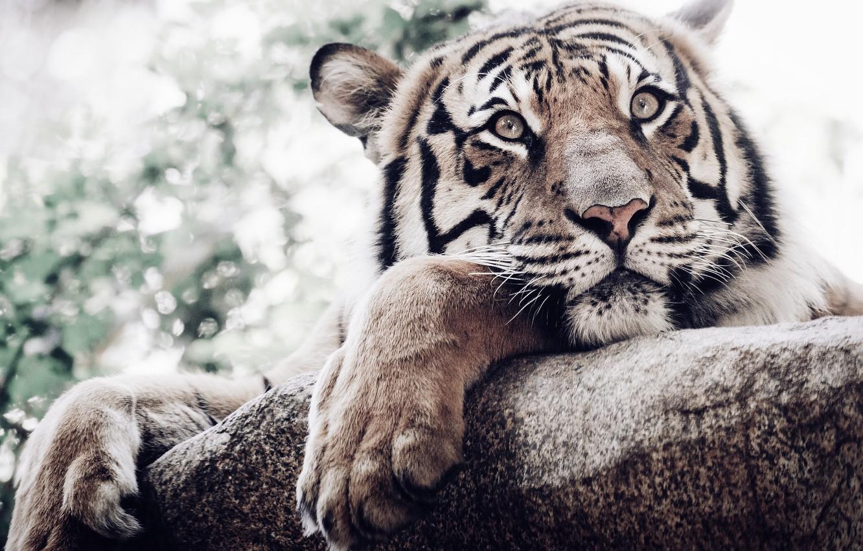 Фото обои взгляд, морда, тигр, лапы, белый тигр, дикая кошка