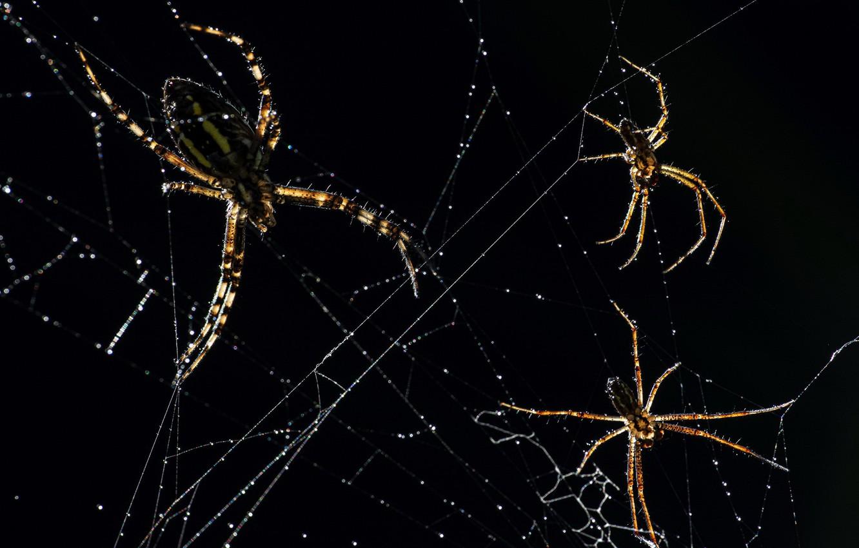 Фото обои макро, природа, пауки
