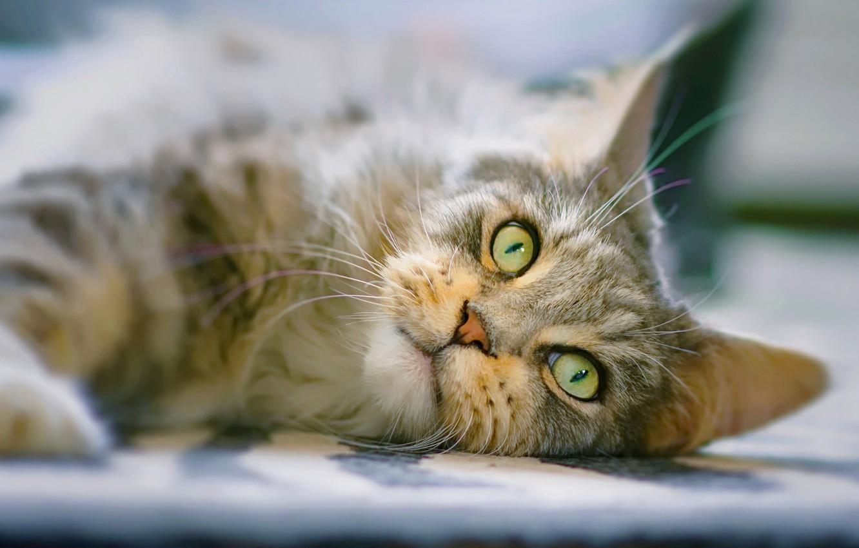 Фото обои глаза, кот, взгляд, мордочка, котейка, Мейн-кун