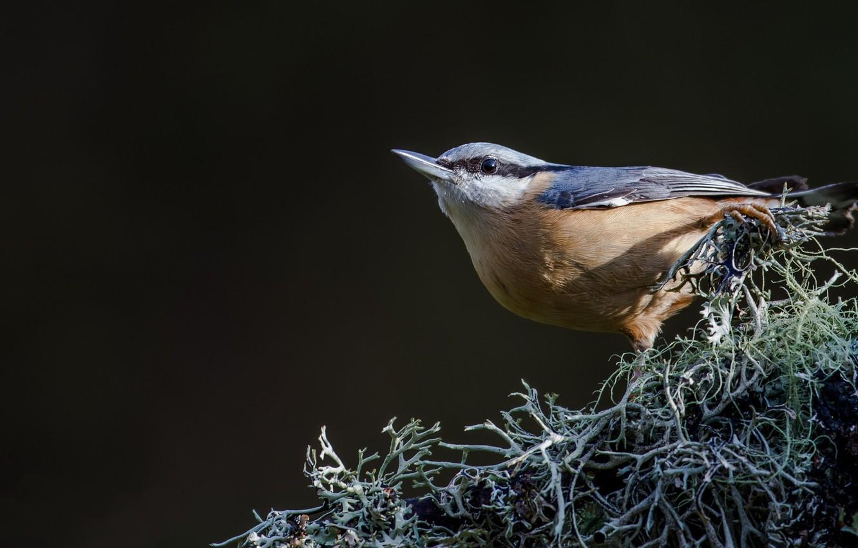 Фото обои фон, птица, bird, сойка
