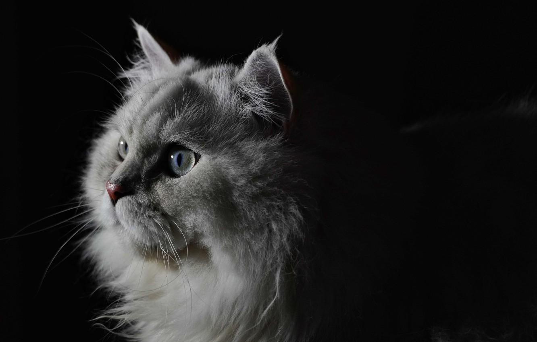 Фото обои пушистый, Кот, британец