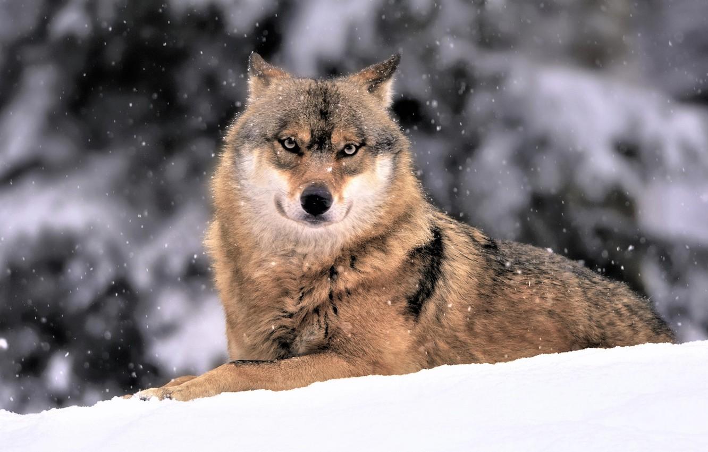 Фото обои зима, снег, волк