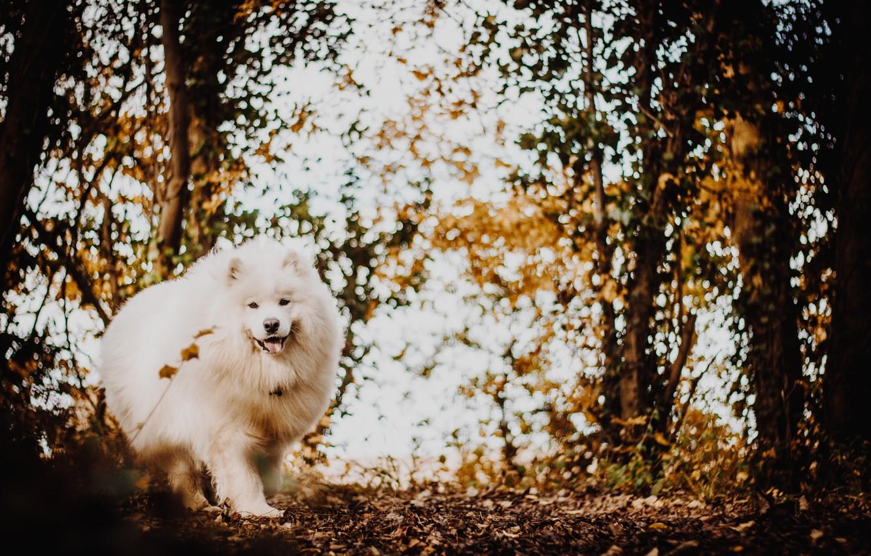 Фото обои осень, лес, белый, собака, пушистый, японский шпиц