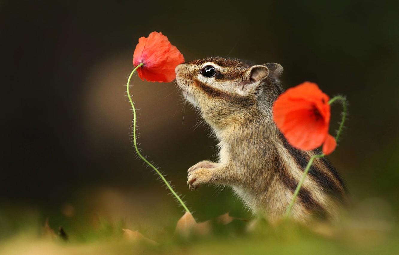 Фото обои взгляд, цветы, поза, темный фон, маки, мордочка, зверек, бурундук, грызун