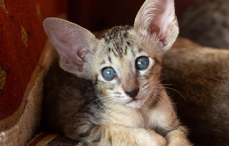 Фото обои кошка, кот, взгляд, мордочка, уши, голубые глаза, котейка, Ориентальная кошка, Ориентал, Татьяна Феденкова