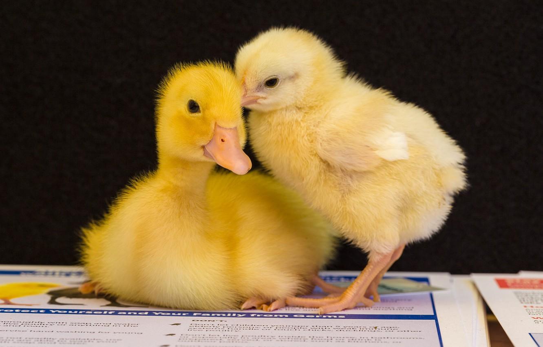 картинки цыплят утят гусят индюшат