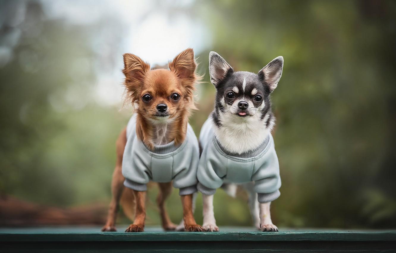 Фото обои парочка, боке, Чихуахуа, пёсики, две собачки, Людмила Богуш