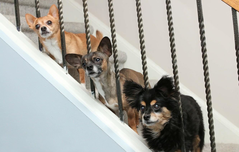 Фото обои собаки, лестница, трио, троица